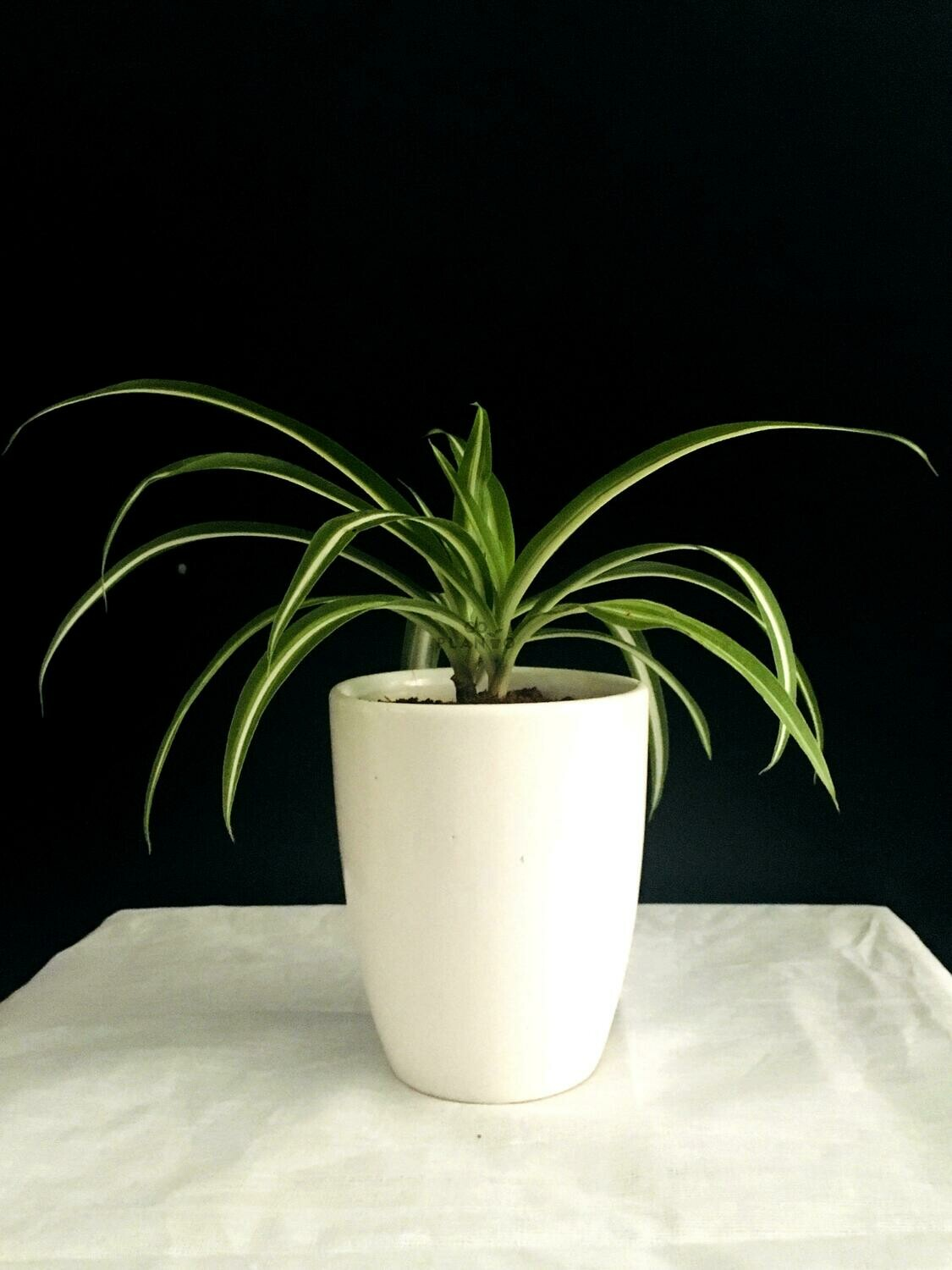 """Spider Plant in 3.5"""" Coffee Cup"""