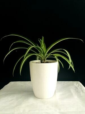 Spider Plant in Coffee Cup
