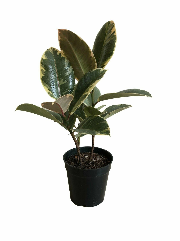 Ficus Elastica - Rubber Plant Variegated