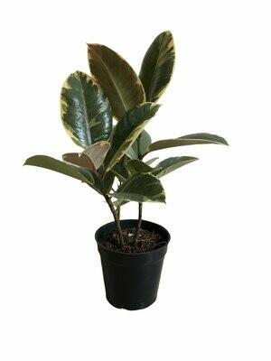 "Ficus Elastica - Rubber Plant Variegated in 4"" Nursery Pot"