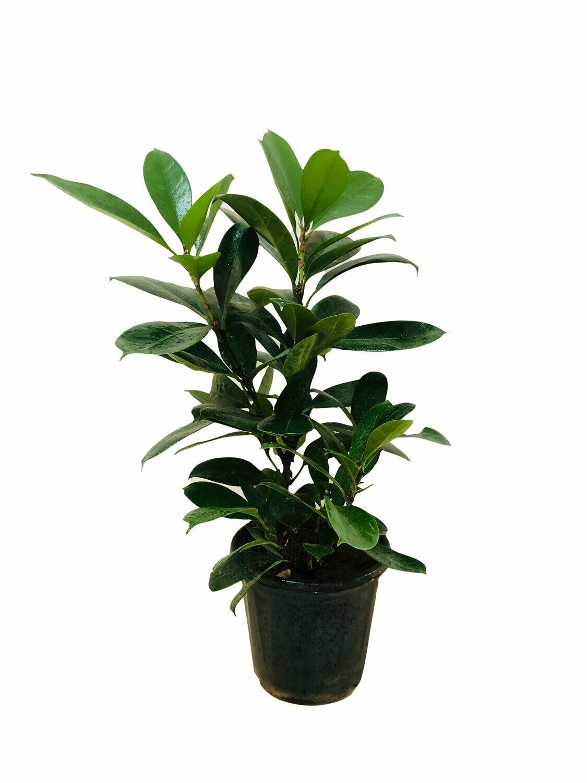 """Ficus Green Rubber Tree in 8"""" Nursery Pot- 2 Feet"""