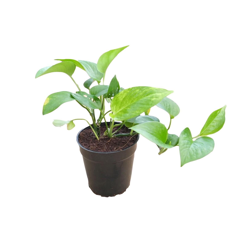 """Money Plant Green in 6"""" Nursery pot"""
