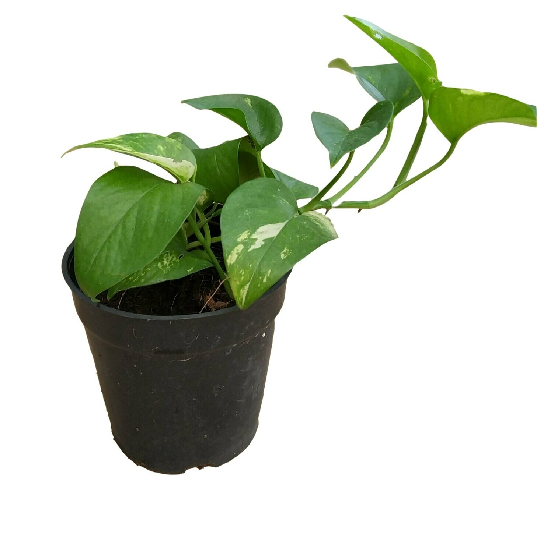 "Money Plant Robusta in 4"" Nursery Pot"