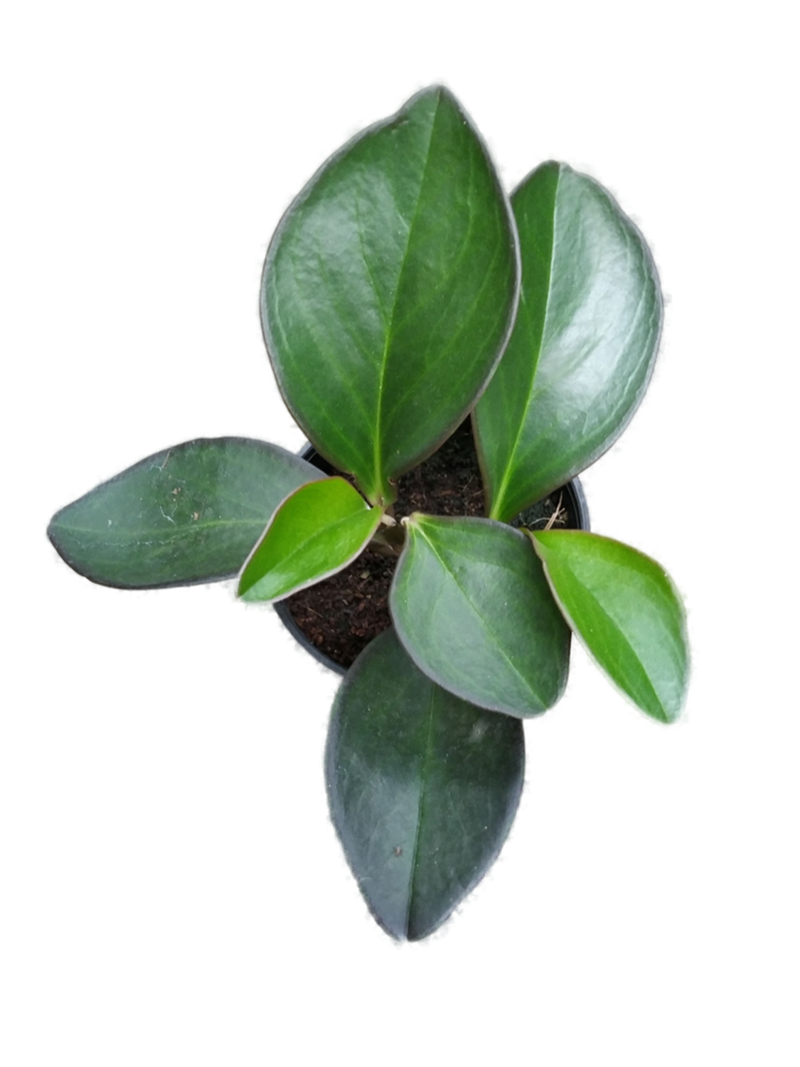 Peperomia Green Long Leaf Plant