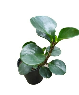 "Peperomia Green Plant in 4"" Nursery Pot"