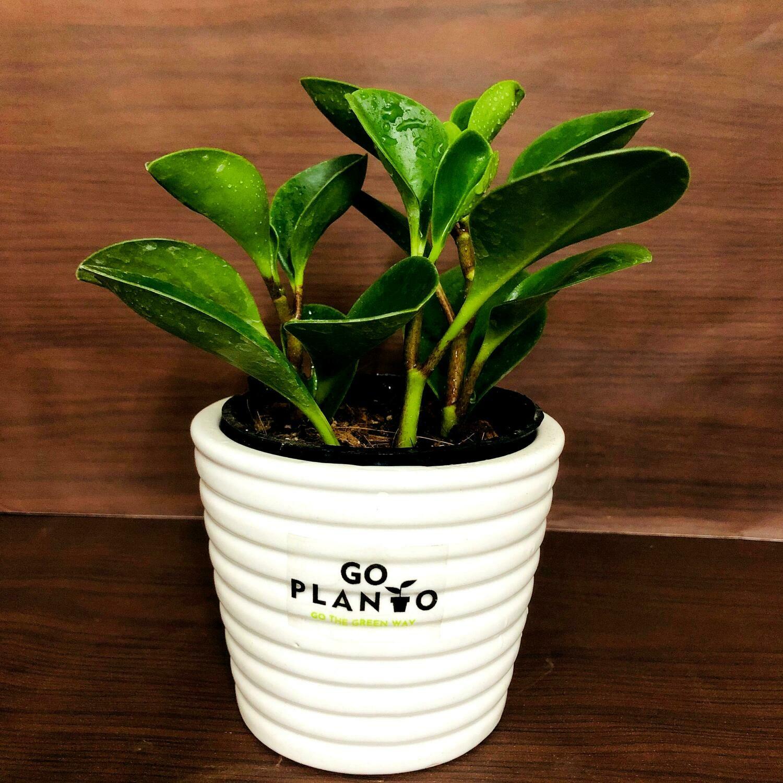 """Peperomia obtusifolia (Baby Rubber Plant) in 3.5"""" Ribbon Pot"""