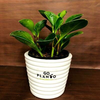 Peperomia Obtusifolia (Baby Rubber Plant) in Ribbon Pot