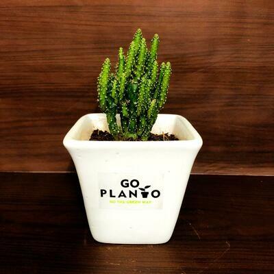 Opuntia in Square Succulent Pot