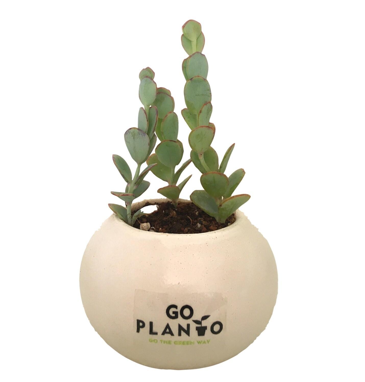 Kalanchoe Marnieriana in Round Succulent Ceramic Pot