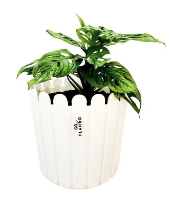 Broken Heart - Swiss Cheese Plant in Fence Round Pot
