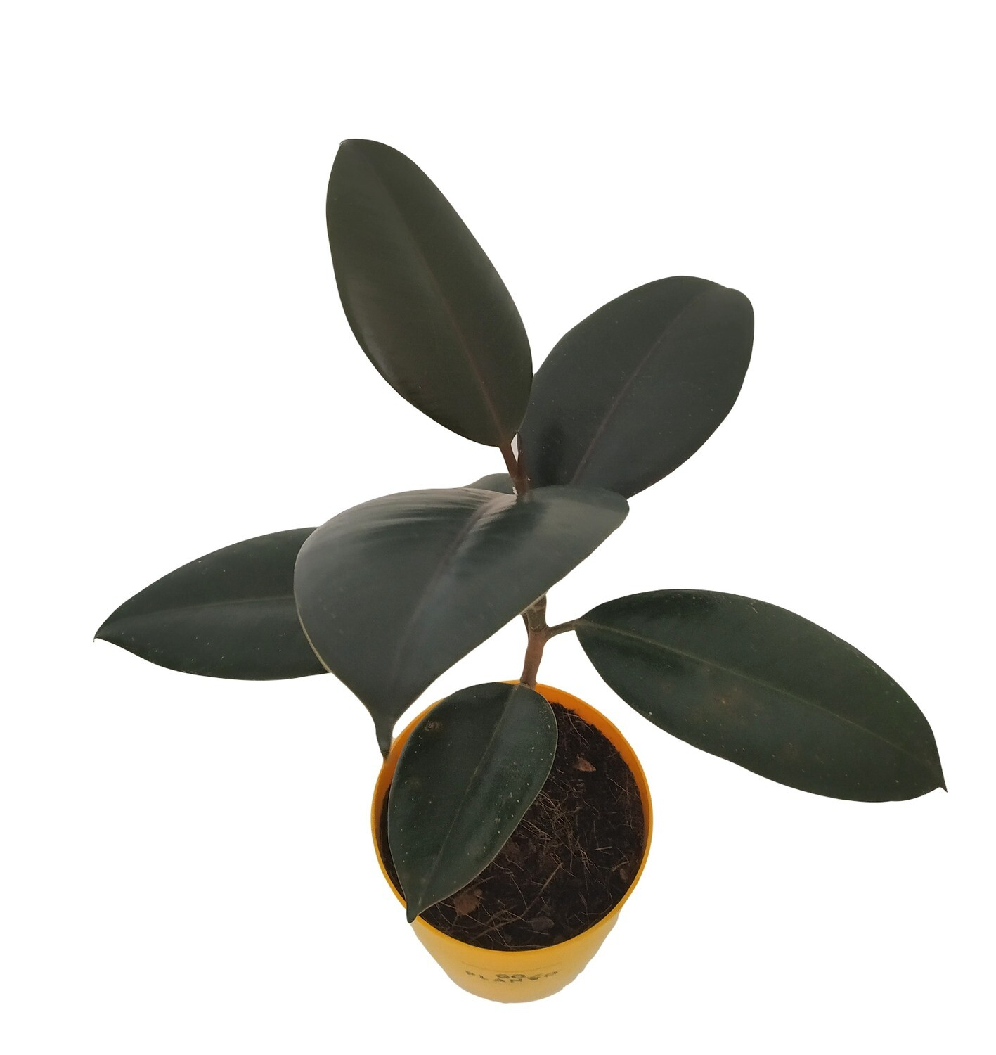 Ficus Elastica - Rubber Plant Black in Round Pot. with Saucer