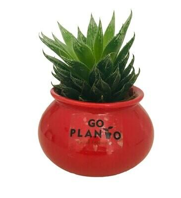 Haworthia Cooperi in Matka Polished Ceramic Pot
