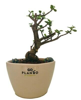 Jade Plant Small Leaf in Bowl Ceramic Pot