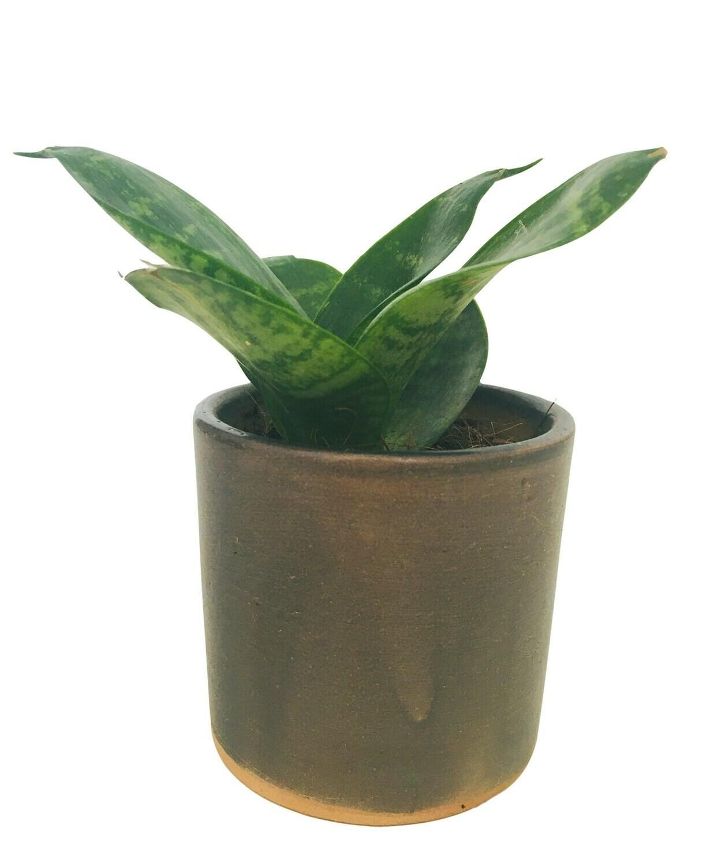 "Sansevieria Compacta - Green Snake Plant in 2.5"" Ceramic Pot"