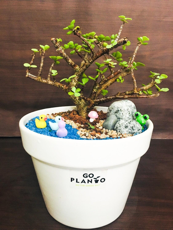 Jade Plant Small Leaf in Ceramic Pot