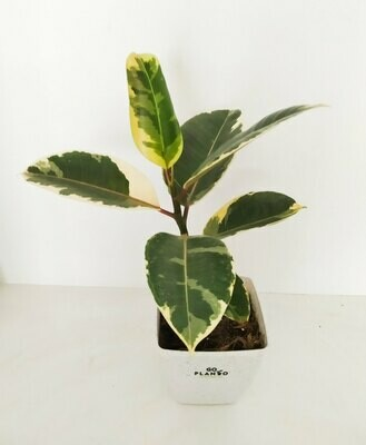 Ficus Elastica - Rubber Plant Variegated in Plastic Square Pot with Saucer