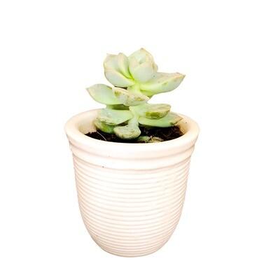 Echeveria in Kulfi Ceramic Pot