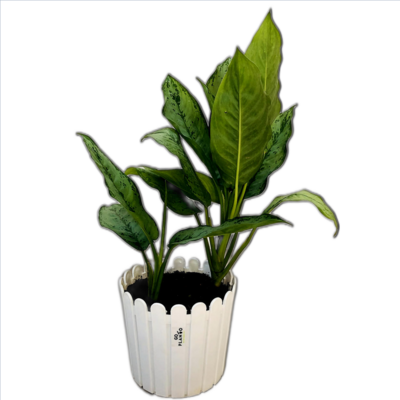 """Aglaonema Green Plant - Chinese Evergreen in Fence Round Pot 8"""" - 1 Feet"""