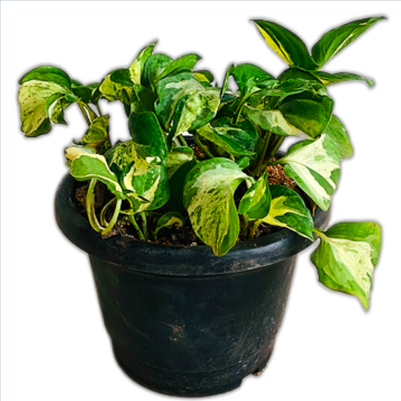 Variegated Money Plant  in 8 Inch Pot