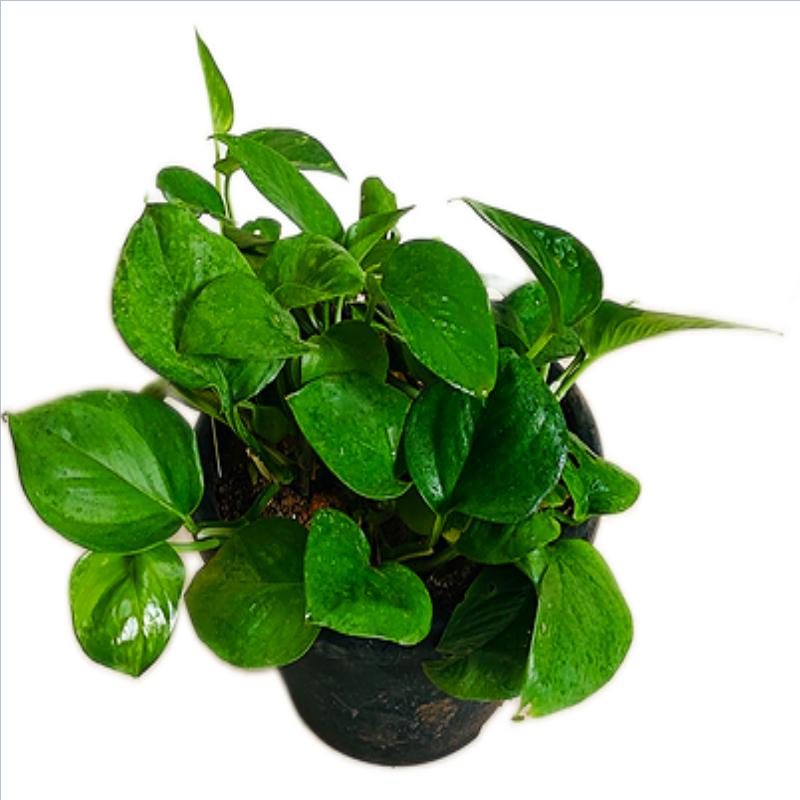 Money Plant Green in 8 Inch Pot