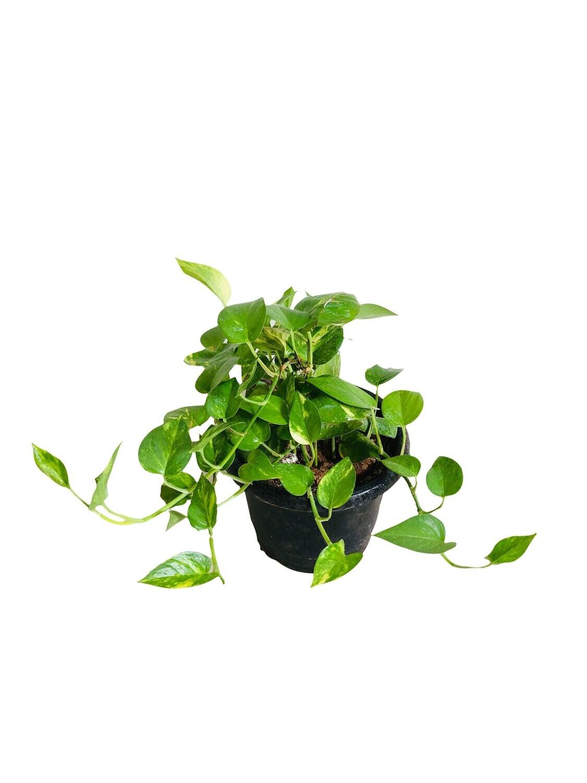 Money Plant Robusta in 8 Inch Pot