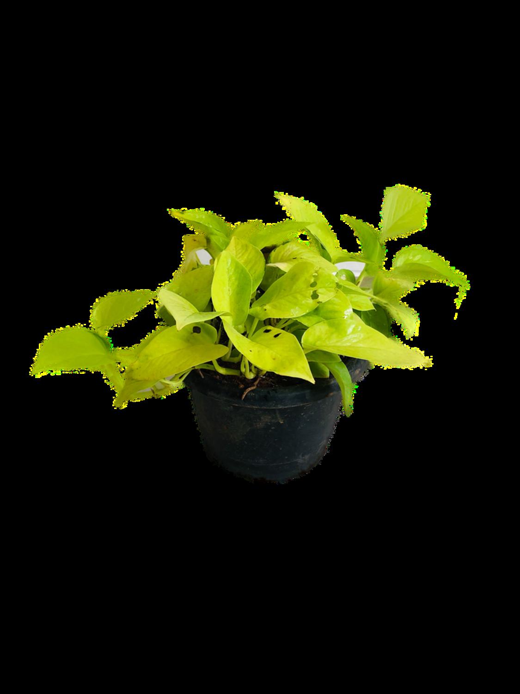 Money Plant Golden in 8 Inch Pot