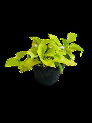"Money Plant Golden in 8"" Nursery Pot"