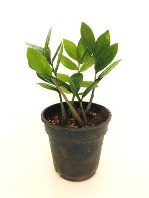 """ZZ Plant in 4"""" Nursery Pot"""