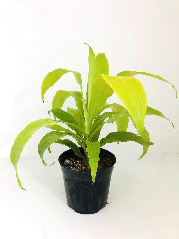 "Dracaena Golden Plant in 5"" Nursery Pot"