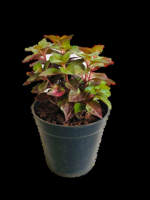 "Alternanthera Plant in 4"" Nursery Pot"