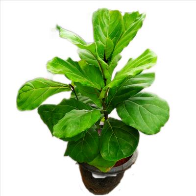 "Ficus Lyrata - Fiddle-Leaf Fig in 6"" Nursery Pot-2"" long"