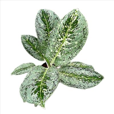 Aglaonema White Lightening Plant  - Chinese Evergreen
