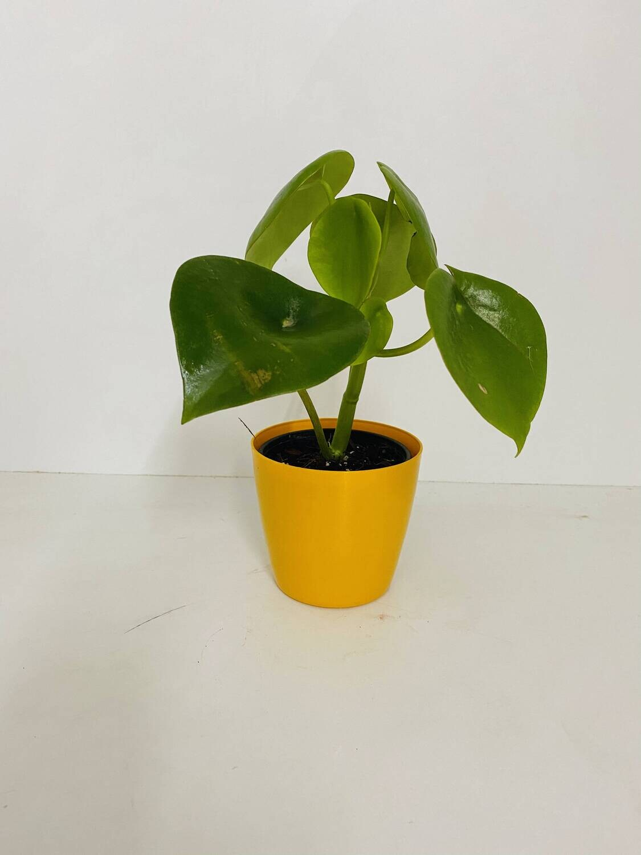 "Peperomia Green Plant Round Big Leaf in Valencia Round Pot 4"""