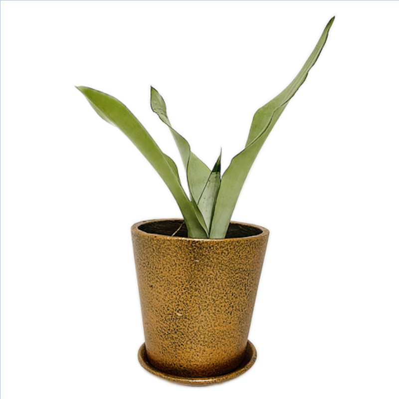 """Sansevieria Moonshine Plant- Snake Plant in Coated - 6 Inch """" V """" Pot - Copper Metallic with Saucer"""
