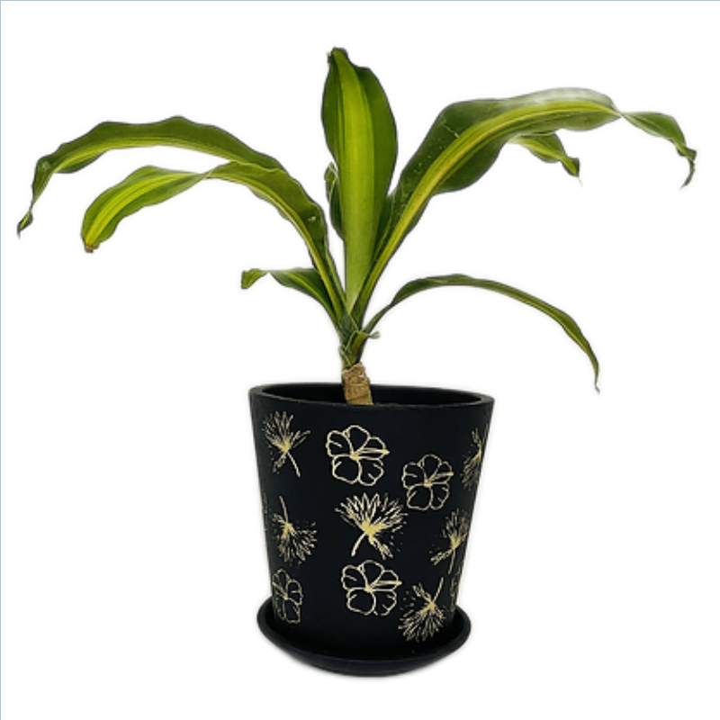 Dracaena Fragrans in Terracotta - Black Printed Series - 6 Inch V Pot with Saucer