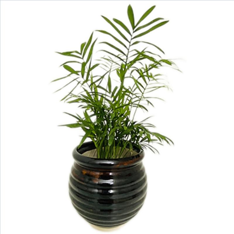 "Chamaedorea Palm Plant in 5"" Round Ceramic Brown Handi Pot"