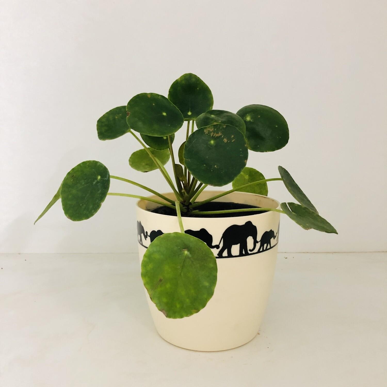 "Chinese Money Plant in 5"" Ronda Elephant Round Pot"