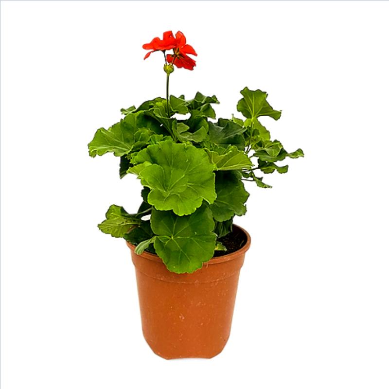"""Geranium Shrub in 6"""" Nursery Pot"""
