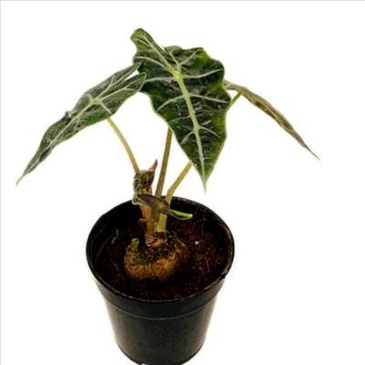 "Alocasia Amazonica Plant in 4"" Nursery Pot"