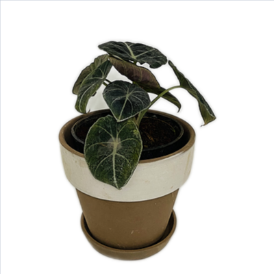 "Alocasia Velvet Plant in Coated - White with Gold Rim 4"""
