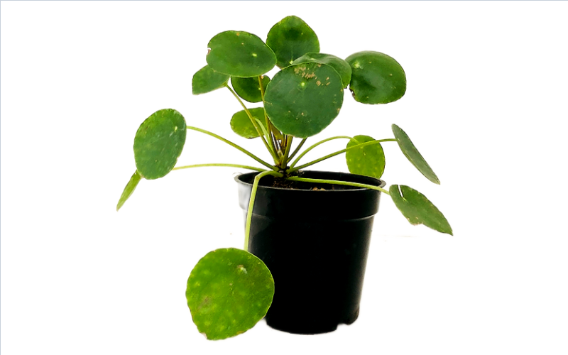 """Chinese Money Plant in 4"""" Nursery Pot"""