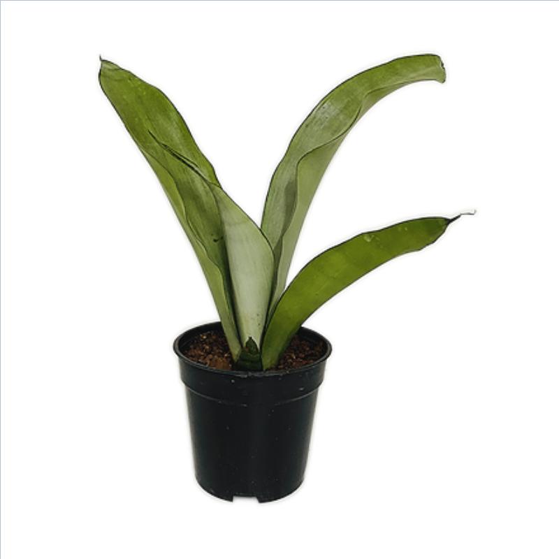 Sansevieria Moonshine Plant - Snake Plant