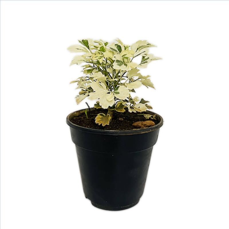 "Aralia Miniature White - Aralia Plant in 4"" Nursery Pot"