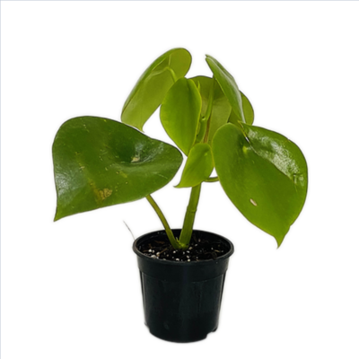 """Peperomia Green Plant Round Big Leaf in 4"""" Nursery Pot"""