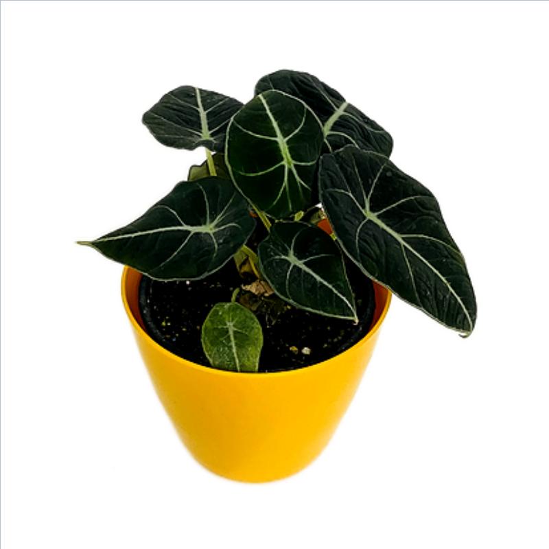 """Alocasia Velvet Plant in 4"""" Plastic Round Pot"""