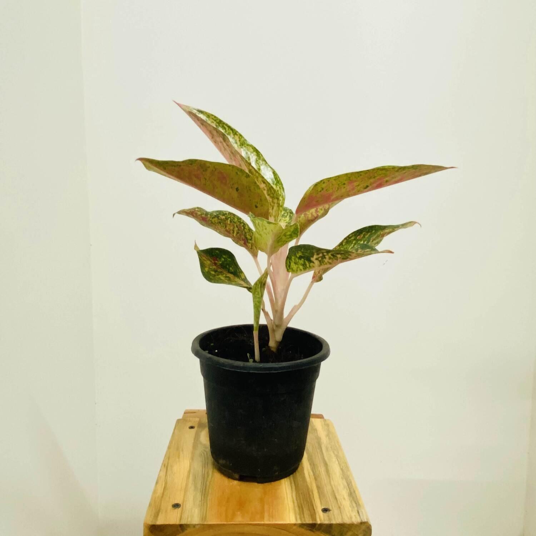 "Aglaonema Lipstick Plant - Chinese Evergreen in 4"" Nursery Pot"