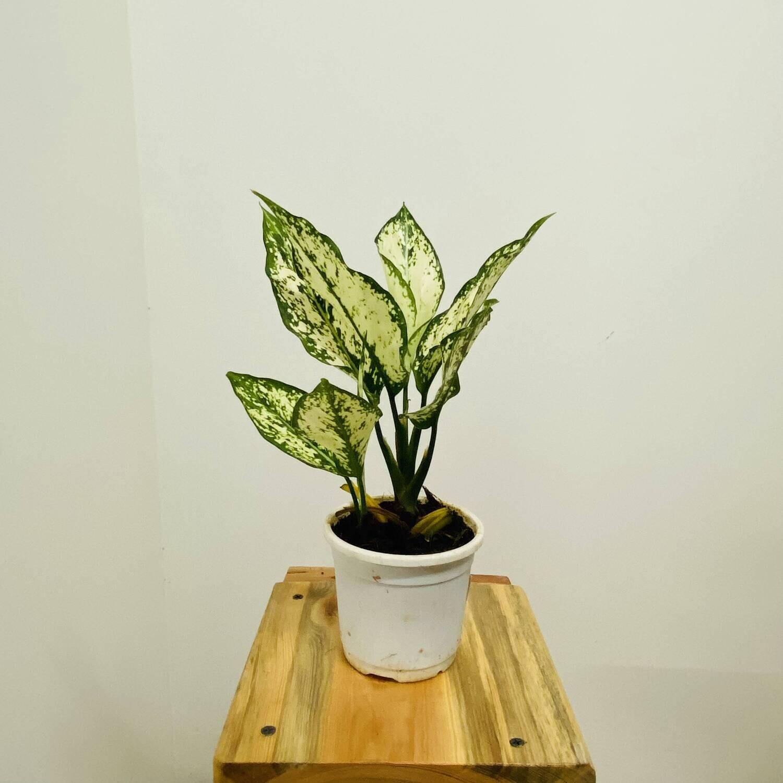 "Aglaonema Snow White Plant - Chinese Evergreen in 4"" Nursery pot"