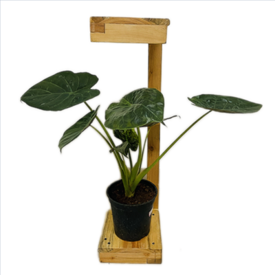 "Alocasia Wentii in 5"" Nursery Pot - 1 Foot"