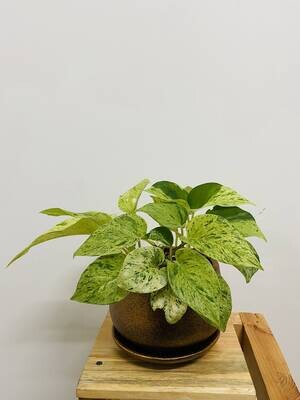 Money Plant Marble Queen in Coated Unami Pot - Copper Metallic with Saucer
