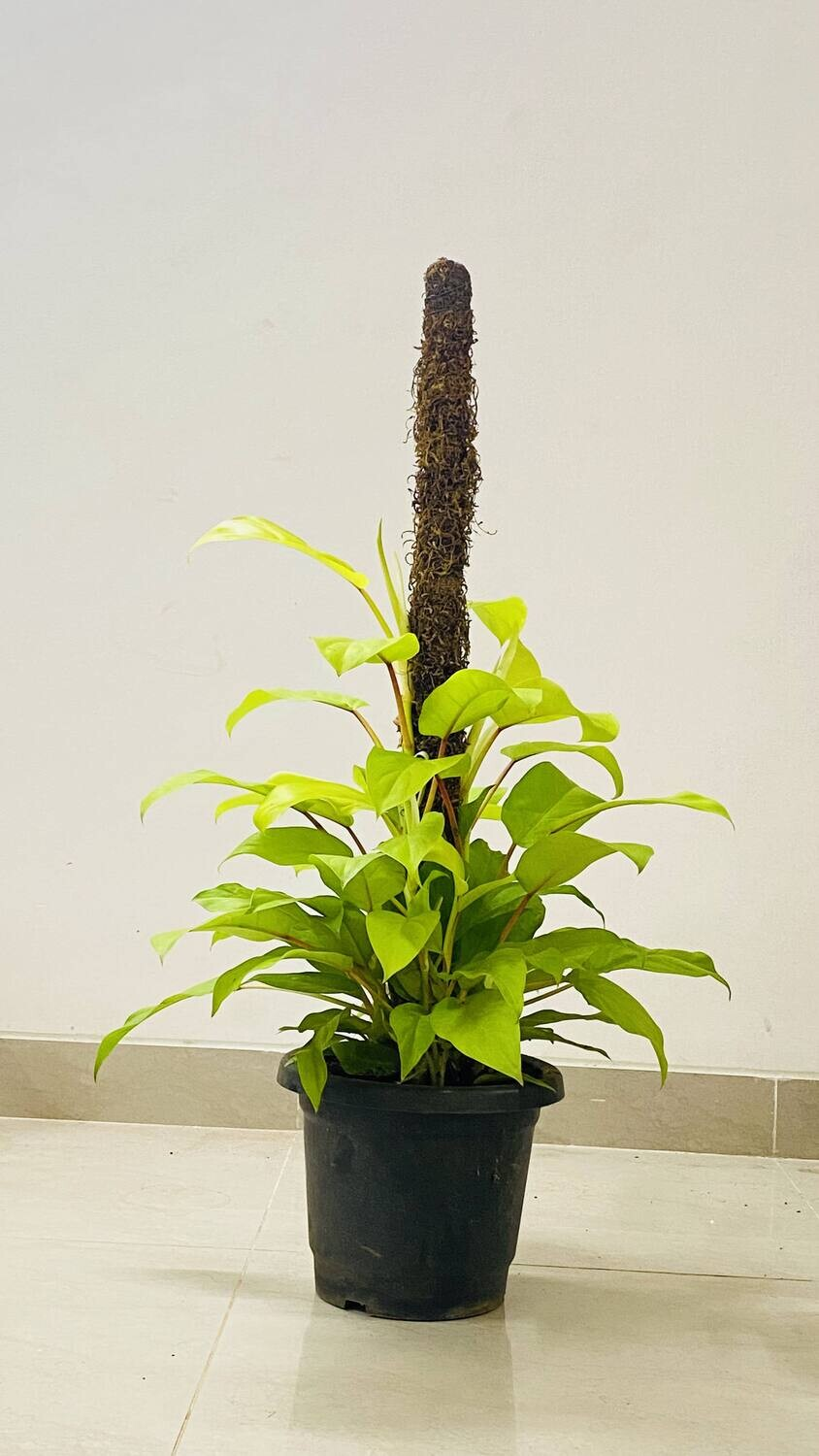 """Philodendron Ceylon - Golden with Moss Stick in 9"""" Round Pot-2 Feet"""